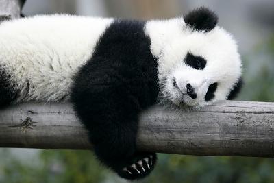 erf_chinese_panda